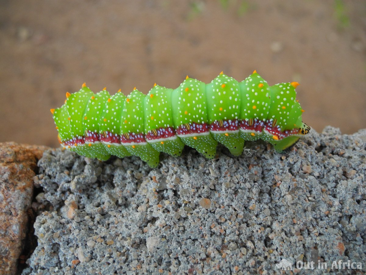Living mopane worm