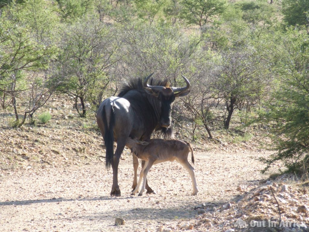 Just born wildebeest baby