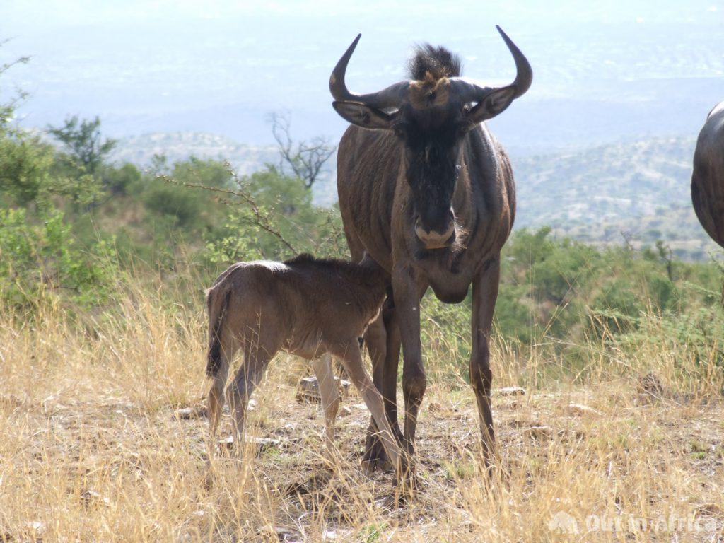 Another wildebeest baby