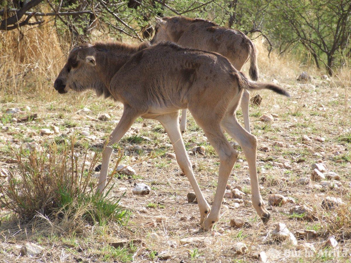 Wildebeest baby