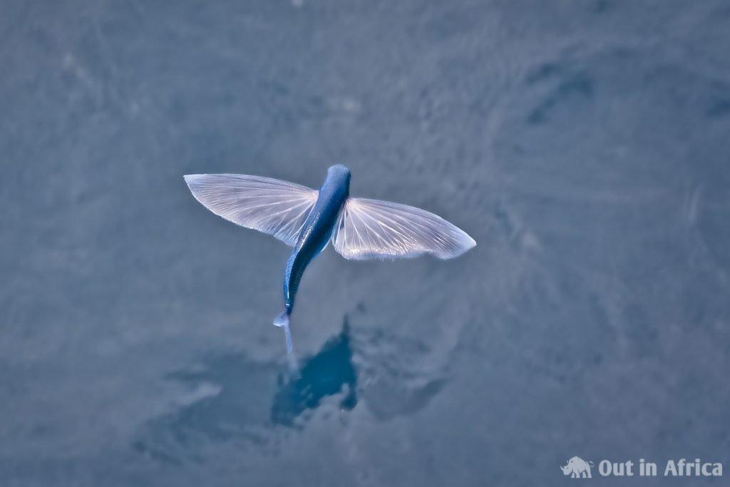 Weißflügler