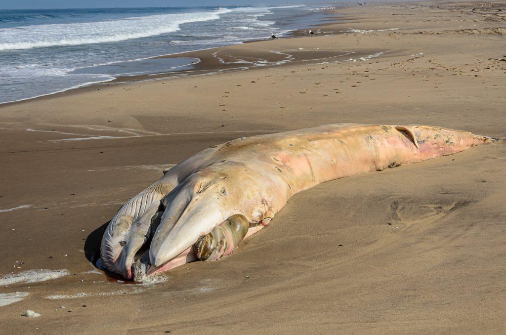 Wal bei Landstrand