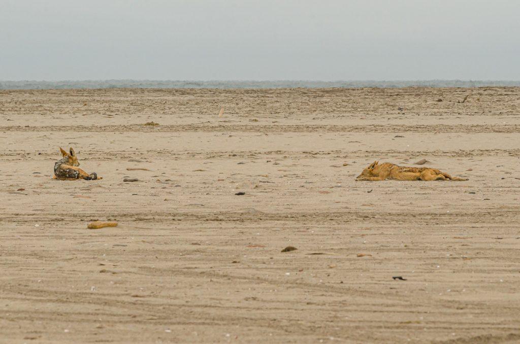 Schakale am Strand