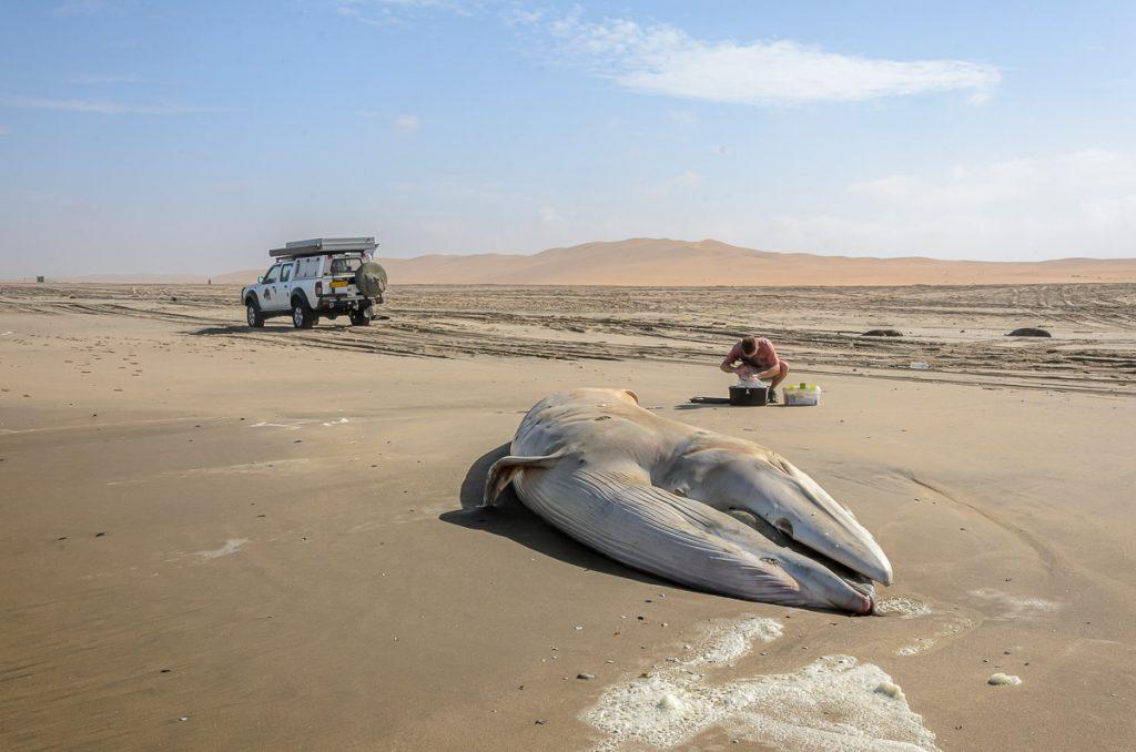 Vorbereitung Untersuchung des Wals