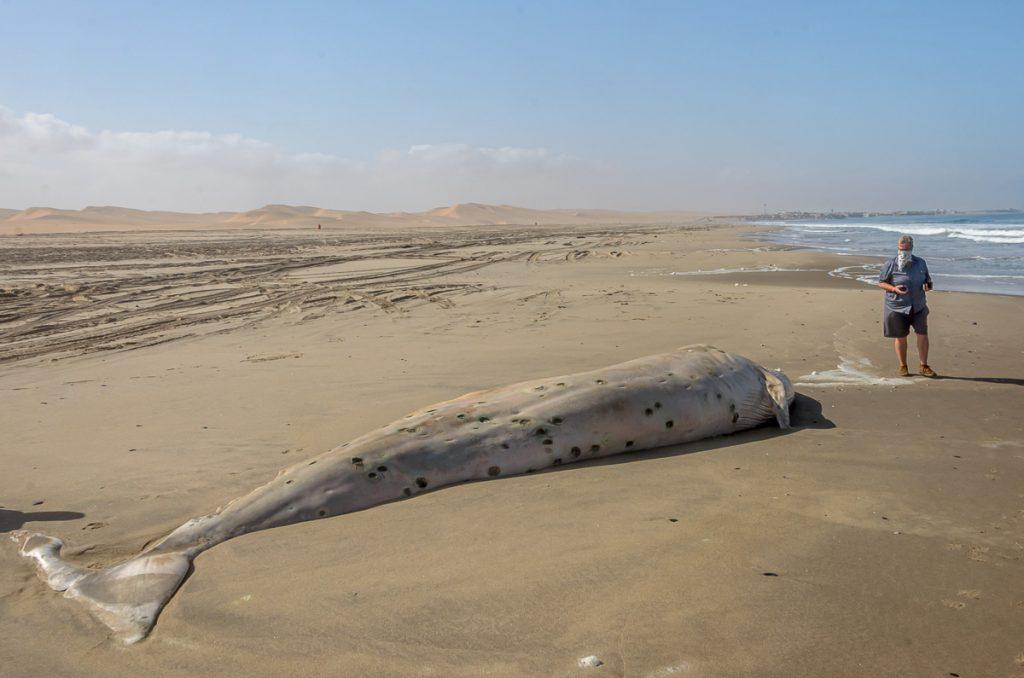 Der Wal ist beeindruckend groß