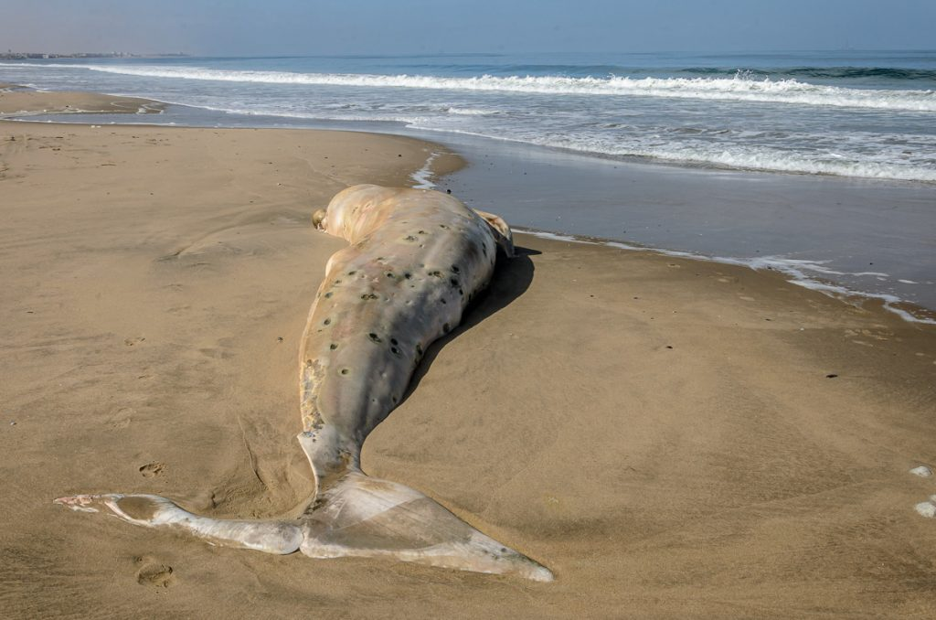 Fluke des Wals