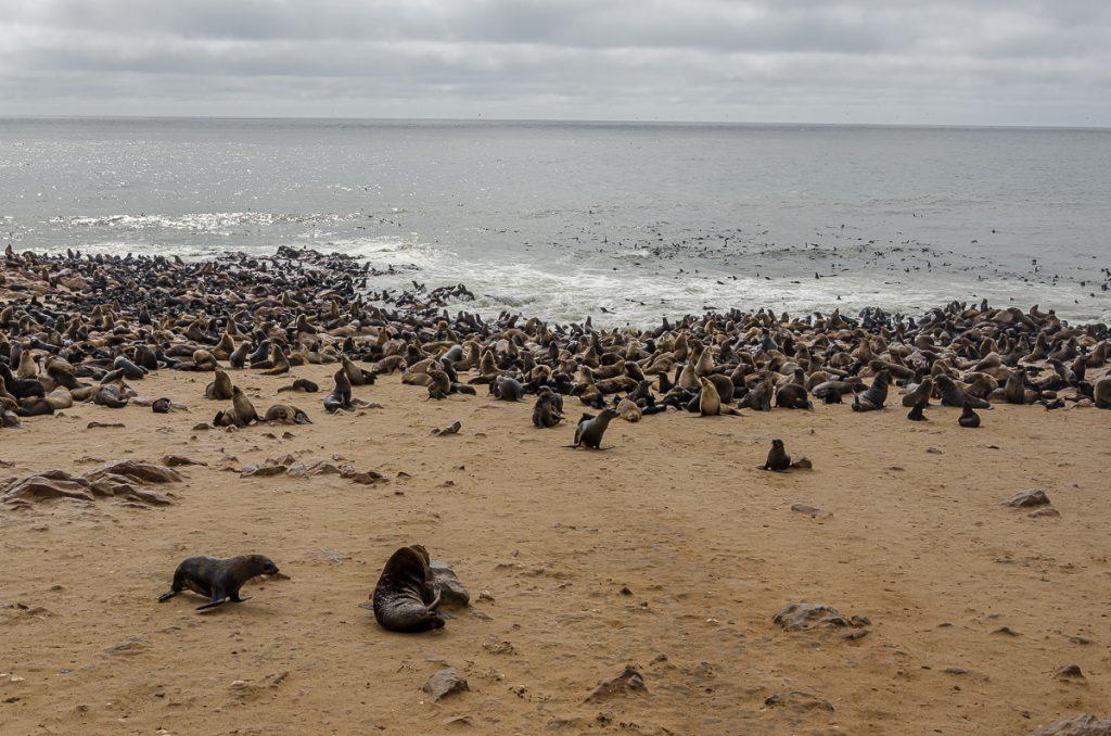 Robben bei Cape Cross