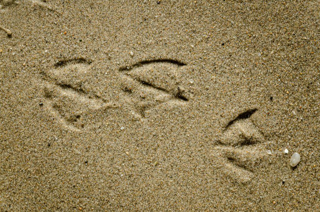 Spuren der Dominikanermöwen