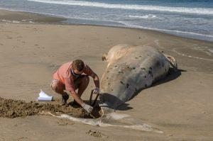 Die Fluke des Wals wird ganz ausgegraben