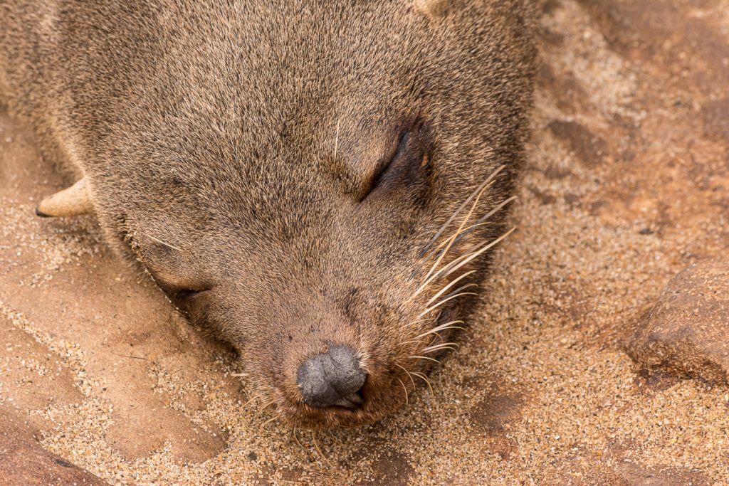 Schlafende Robbe bei Cape Cross