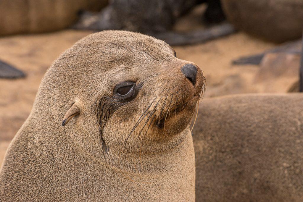Robbe bei Cape Cross