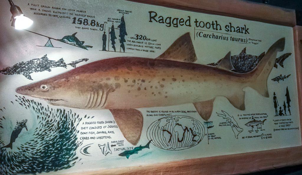 Information zum Sandtigerhai