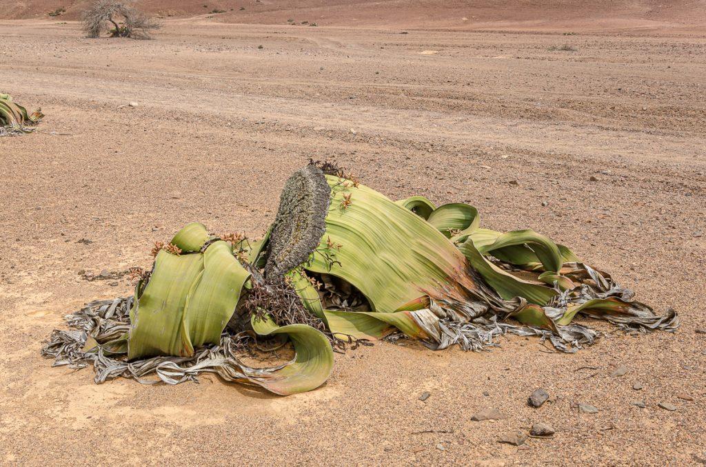 Männliche Welwitschia