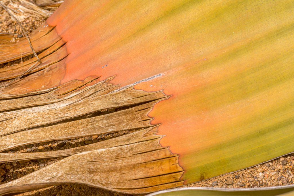 Blatt der Welwitschia
