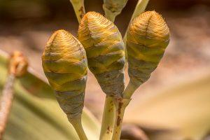 Weibliche Zapfen der Welwitschia