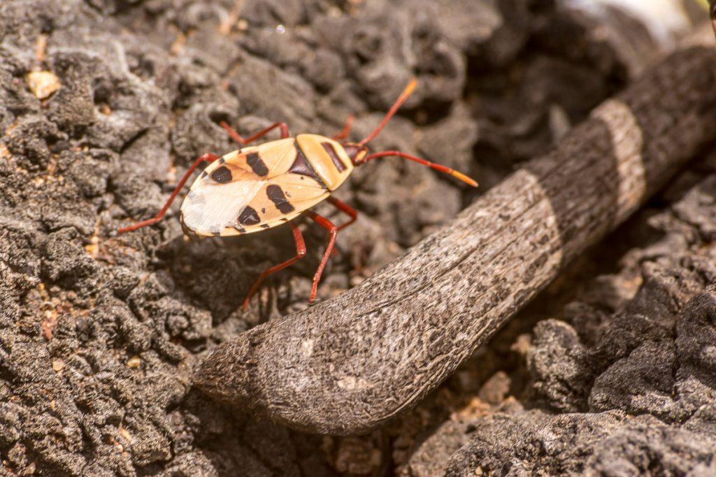 Käfer auf der Welwitschia