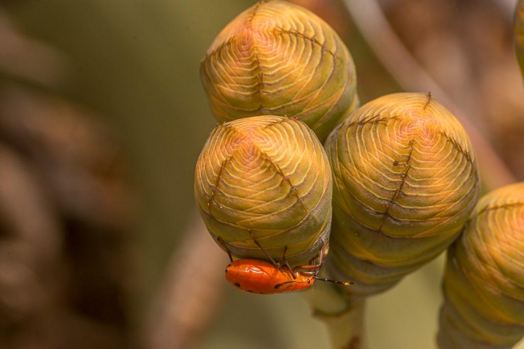 Käfer auf weiblichen Zapfen der Welwitschia