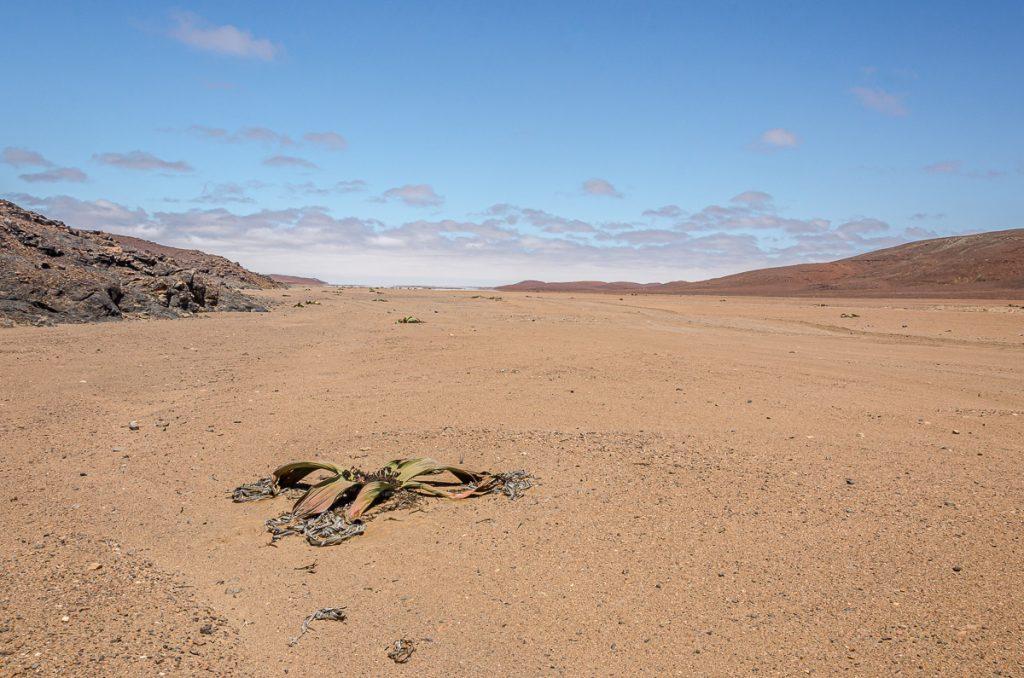Welwitschia auf dem Weg zum Messumkrater