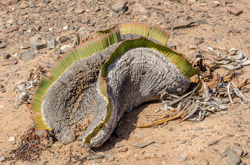 Abgefressene Welwitschia